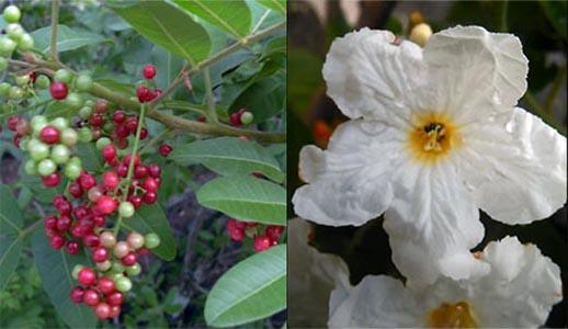 Frutos y flores del árbol anacahuita